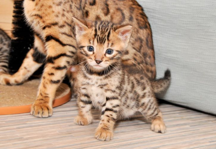 Stunning Tica Registered Bengal Kittens Animals 2