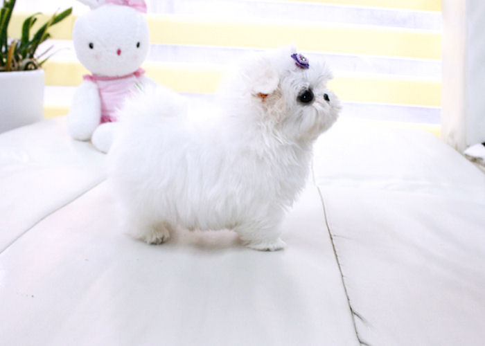 Stunning XXS size tiny uncomplicated, gentle, Maltese For Sale 07031956739 Animals