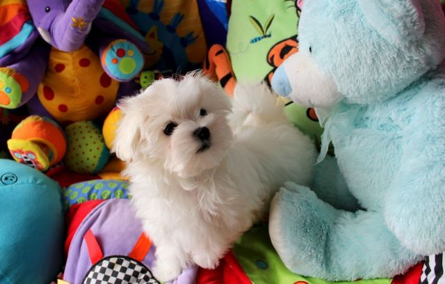 Stunning and affectionate white male maltese puppy Animals