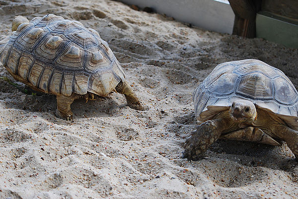 Sulcata tortoises for sale Animals 2