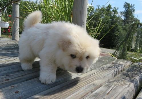 Super Adorable AKC chow chow puppies Animals