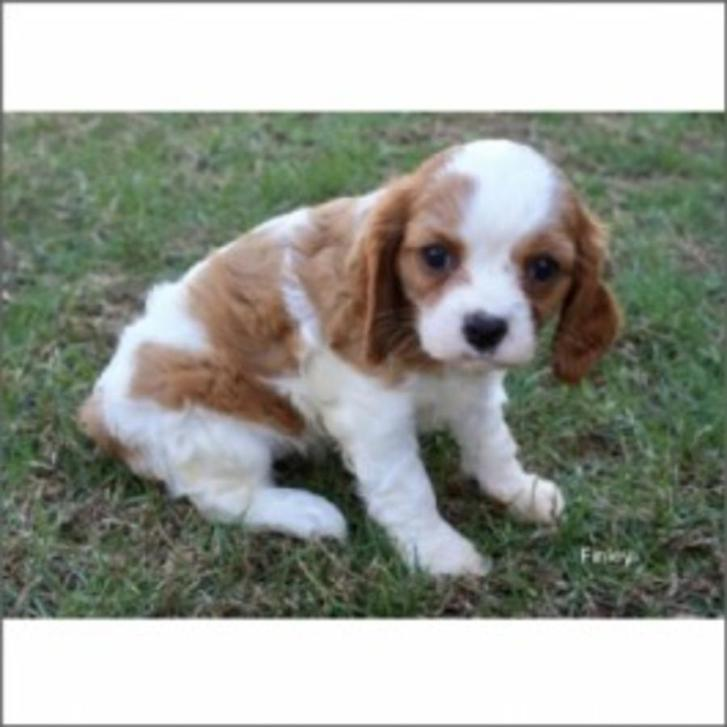 SuperKing Charles Cavaliers Animals