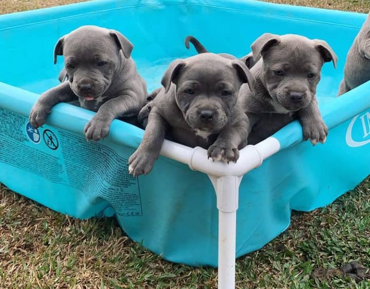 Sweet Staffordshire Bull Terrier Puppies For Sale Animals