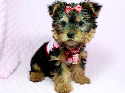 TEACUP YORKSHIRE PUPPIES FOR SALE Animals