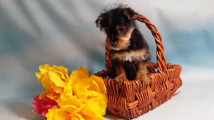 Tea Cup Yorkshire Terrier Puppies Animals