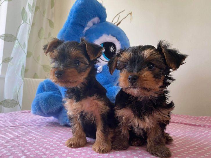 Tea Cup Yorkshire Terrier Puppies Animals