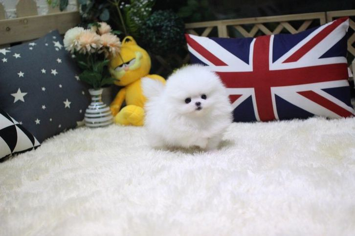 Teacup White Pomeranian Animals