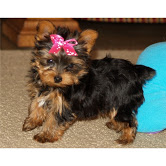 Teacup Yorkie puppy (210) 239-1181  Animals