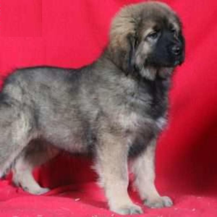 Tibetan Mastiff Purebred Puppies  Animals