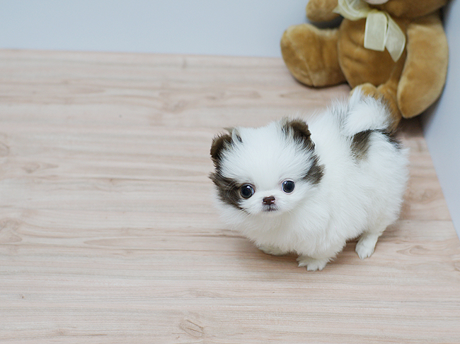 Tiny Teacup Pomeranian puppies for sale Animals 3
