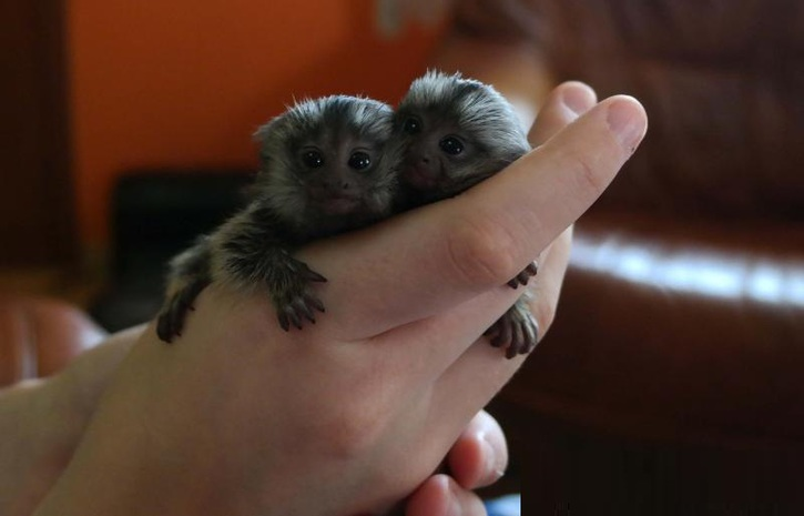 Twin Pygmy Marmosets Monkeys For RE-HOMING  Animals