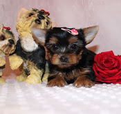 Two Yorkie Puppies Available Animals 4