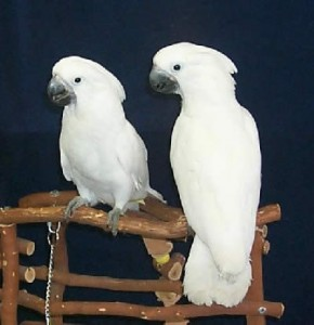 We have beautifull male and female umbrella Cockatoos for sale. Animals 4