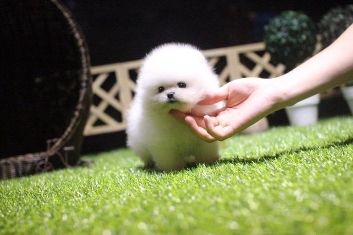 White Cute Pomeranian Teacup Animals