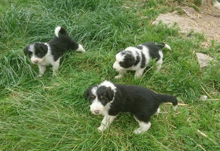 Working Bearded Collie Pups Animals