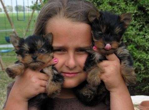 X-MAS yORKIE PUPPIES. Animals