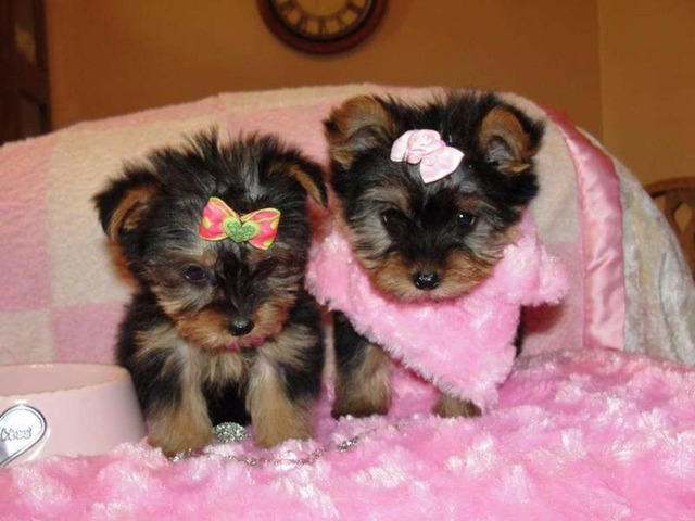 X-MAS yorkie Puppies ready Animals