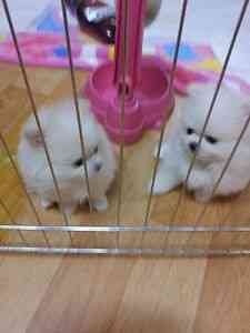 Xxx Magnificent Rare White Pom Babies Xxx   Animals