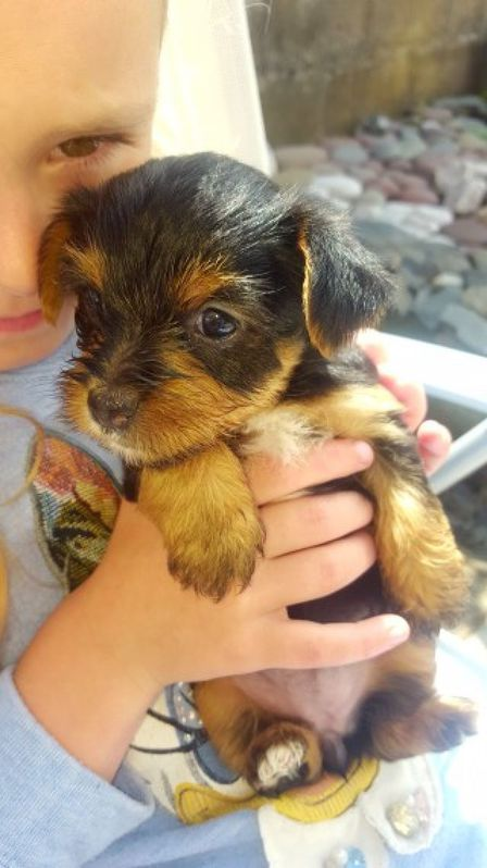Yorkshire Terrier Puppies / Now Ready Animals