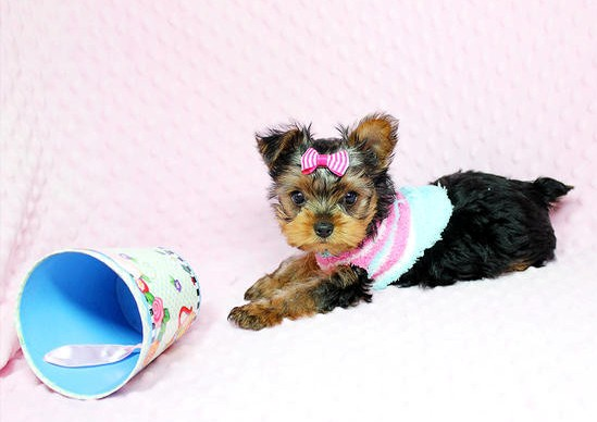 aFFECTIONATE  KC REG.YORKIE PUPPIES NEED A NEW FAMILY Animals