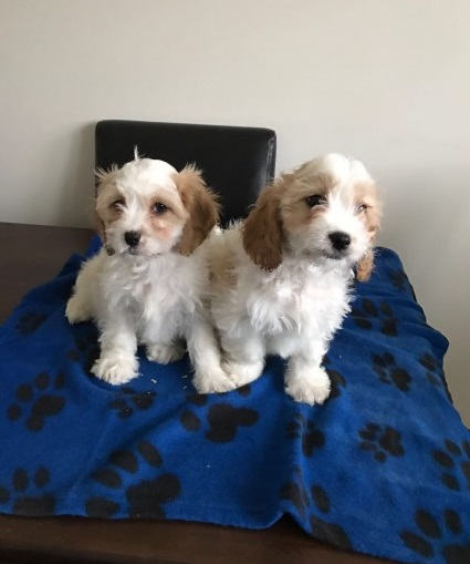 adorable Cavapoo Puppies For Sale Animals