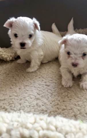 beautiful KC registered Maltese Terrier Puppies for sale Animals