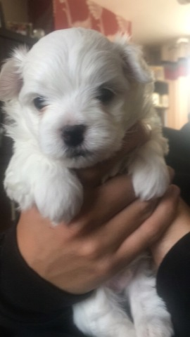 beautiful KC registered Maltese Terrier Puppies for sale Animals 3