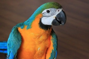 blue and gold macaw parrots for free adoption. Animals 2