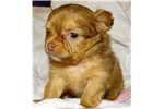 chihuahua puppie for adoption Animals