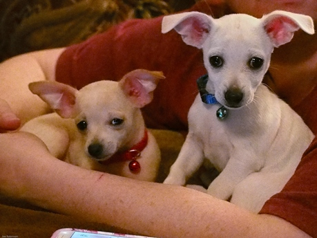 chihuahua puppies for rehoming Animals 2