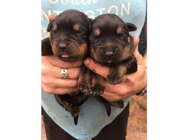 cute and adorable home trained Rottweiler puppies Animals