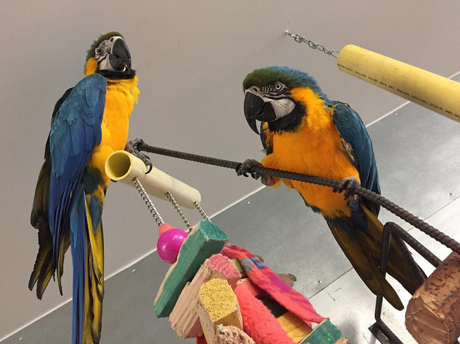 hand reared blue and gold parrots for available Animals