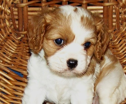 handsome cavalier king charles pups for sale Animals