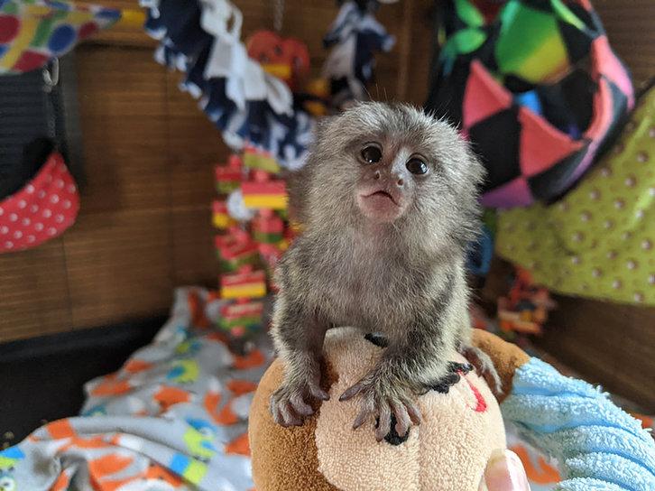 intelligent marmoset Capuchin monkeys for sale Animals