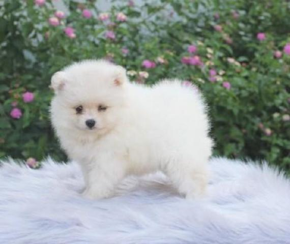 pomeranian puppies boys and girls Animals 3