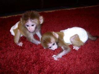 pygmy marmoset Capuchin monkeys for sale Animals