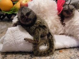 pygmy marmoset apuchin monkeys for sale Animals