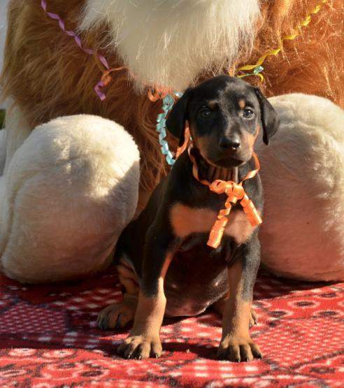 riendly AKC registered European Doberman Pinscher puppies Animals