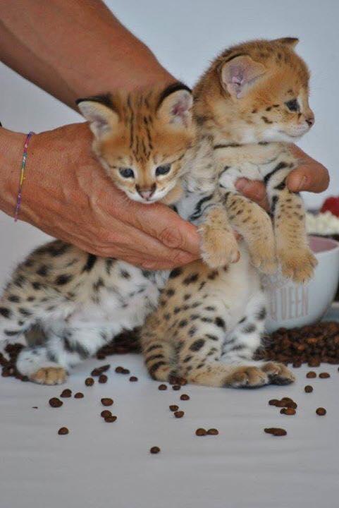 savannah F1 & F2 kittens  Animals 2