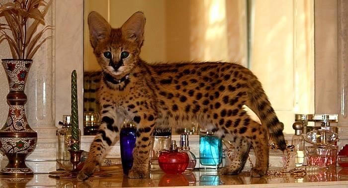 savannah kittens  Animals