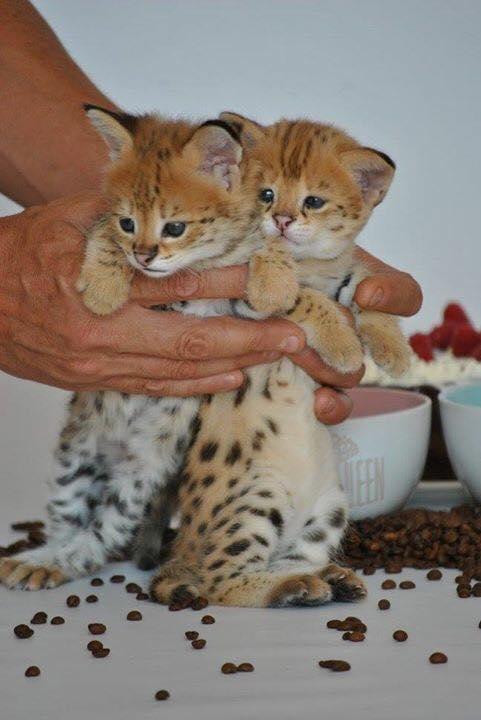 savannah kittens  Animals 3