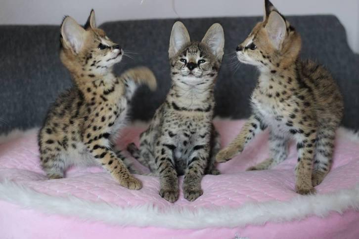 savannah kittens  Animals 4