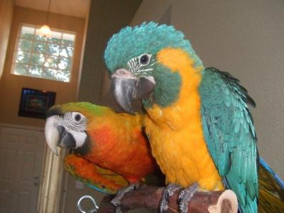 species of macaw baby parrot for sale  Animals 2