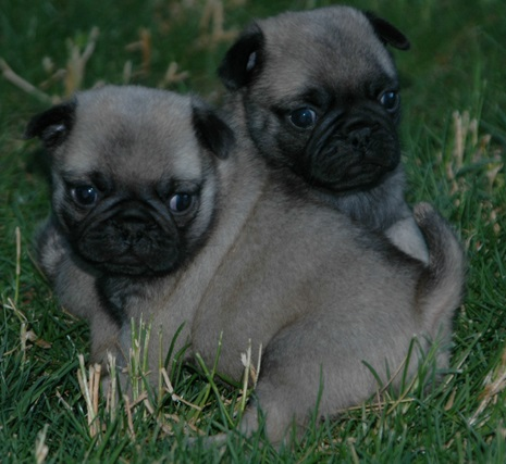 stunning pug puppies for sale with all their health papers  Animals