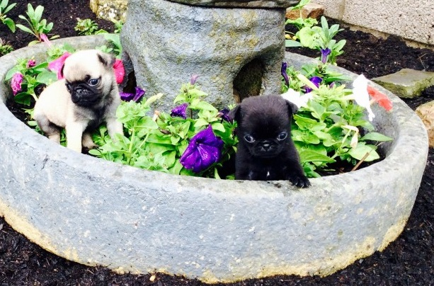 stunning pug puppies for sale with all their health papers  Animals 2
