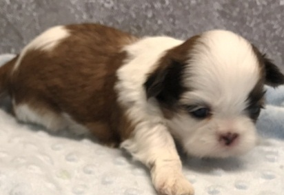 super adorable shih tzu for sale Animals