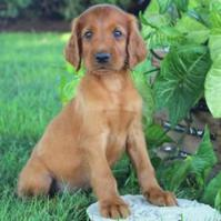 Gorgeous Pure Bred Irish Setter Puppies , Family Raised With Love