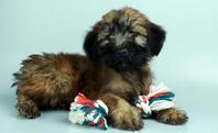 💗💗💗Beautiful kC wheaten terrier puppies