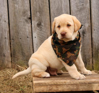 Check out these handsome Labrador Retriever puppies!