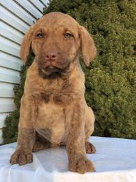 Chesapeake Bay Retriever Puppy Litters for Sale!